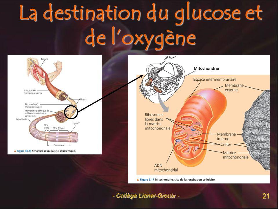 La destination du glucose et de l'oxygène