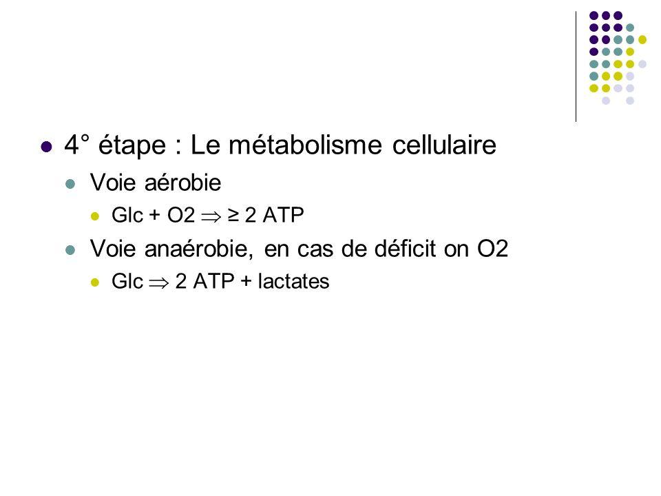 4° étape : Le métabolisme cellulaire