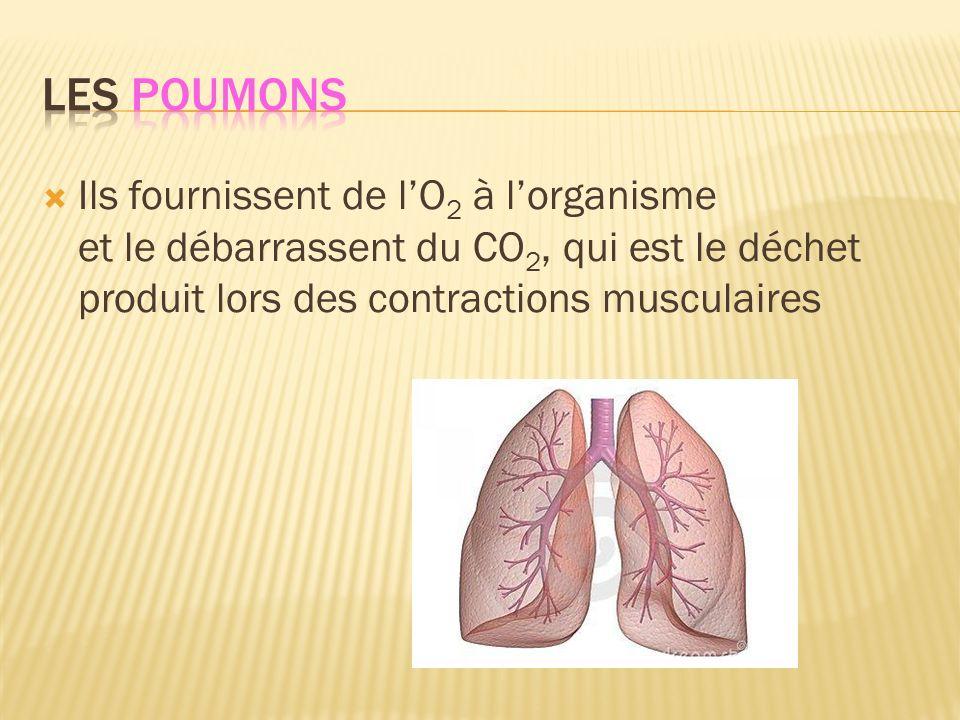 Les poumons Ils fournissent de l'O2 à l'organisme et le débarrassent du CO2, qui est le déchet produit lors des contractions musculaires.