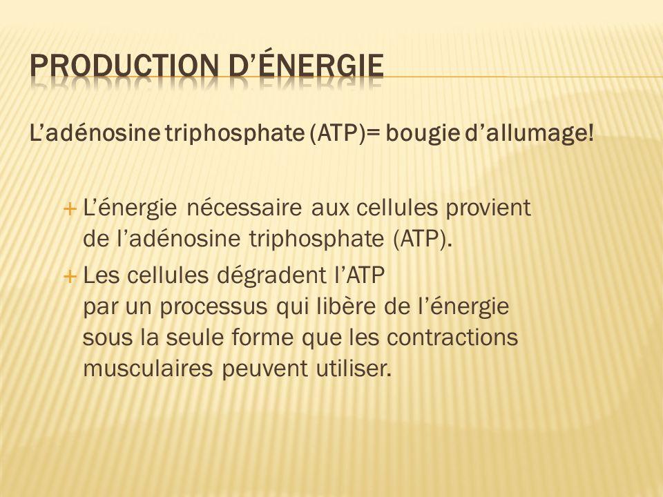 Production d'énergie L'adénosine triphosphate (ATP)= bougie d'allumage!