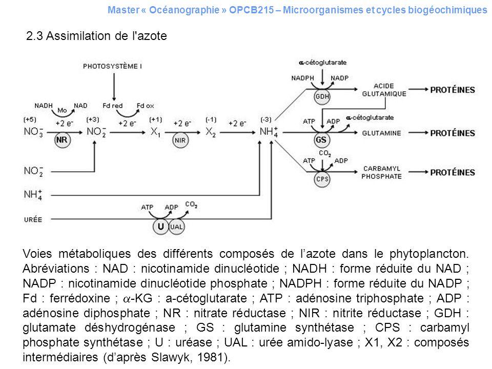 2.3 Assimilation de l azote