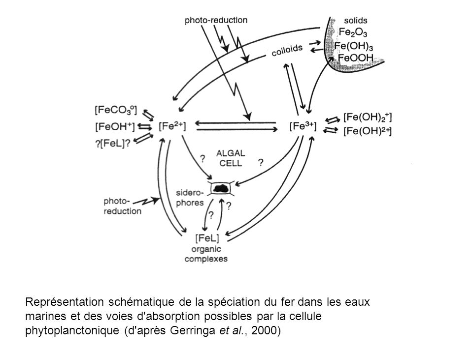 Représentation schématique de la spéciation du fer dans les eaux marines et des voies d absorption possibles par la cellule phytoplanctonique (d après Gerringa et al., 2000)