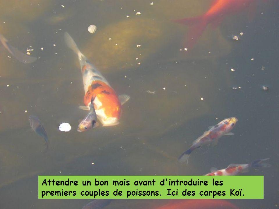 Attendre un bon mois avant d introduire les premiers couples de poissons. Ici des carpes Koï.