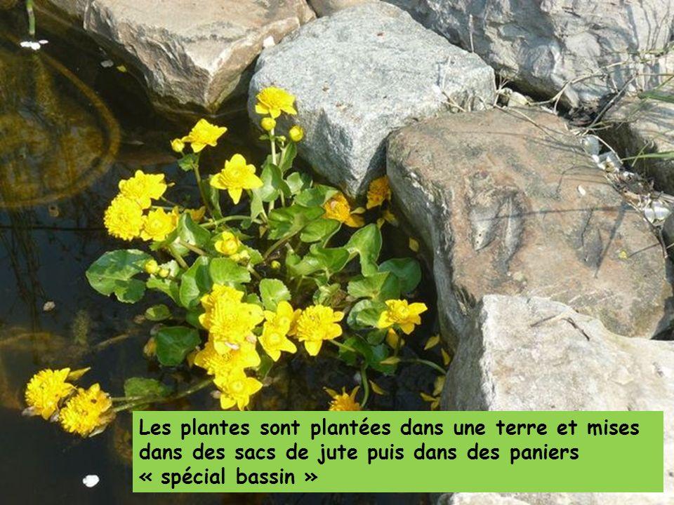 Les plantes sont plantées dans une terre et mises dans des sacs de jute puis dans des paniers « spécial bassin »