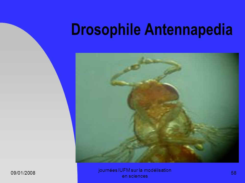 Drosophile Antennapedia