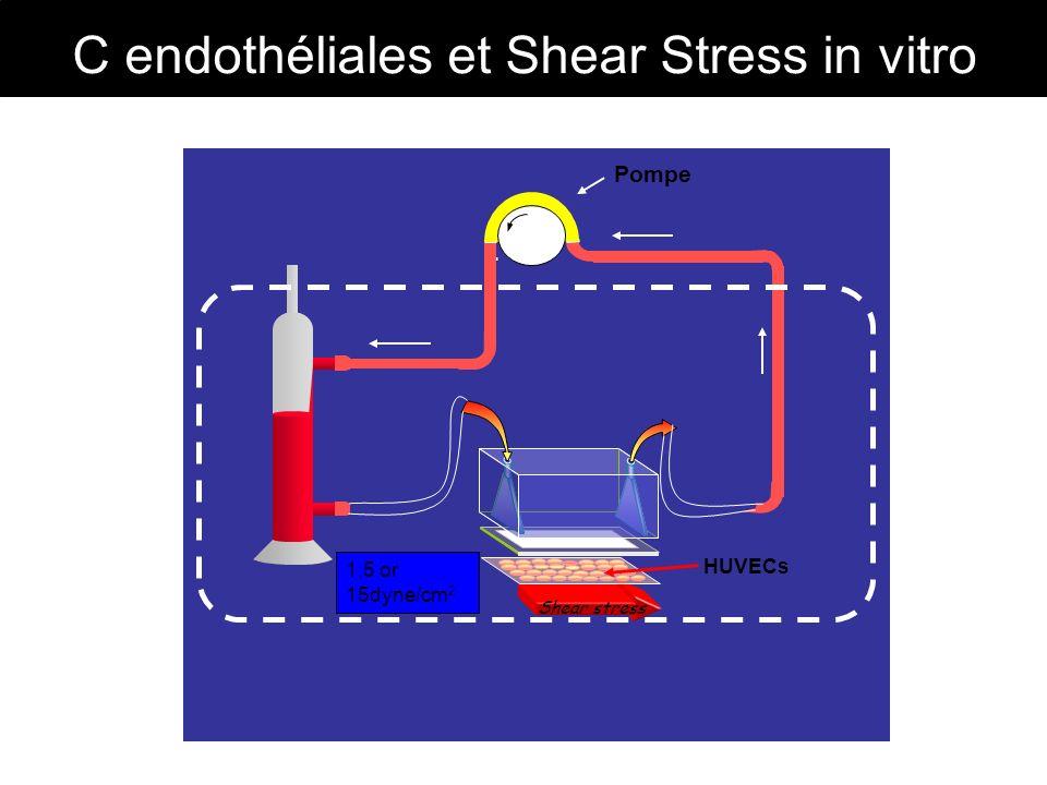C endothéliales et Shear Stress in vitro