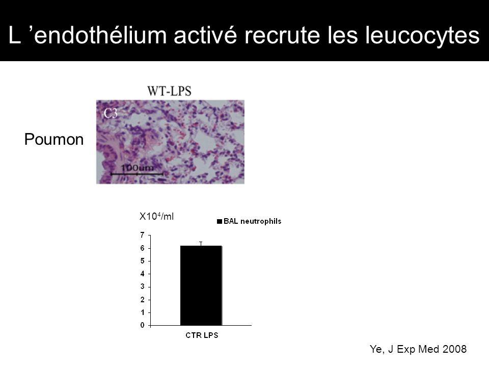 L 'endothélium activé recrute les leucocytes