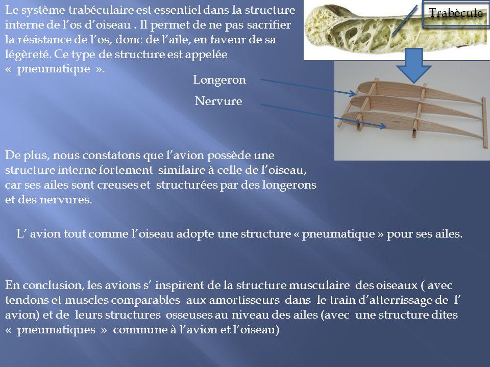 Le système trabéculaire est essentiel dans la structure interne de l'os d'oiseau . Il permet de ne pas sacrifier la résistance de l'os, donc de l'aile, en faveur de sa légèreté. Ce type de structure est appelée « pneumatique ».