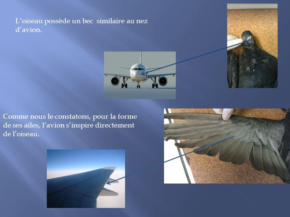 L'oiseau possède un bec similaire au nez d'avion.