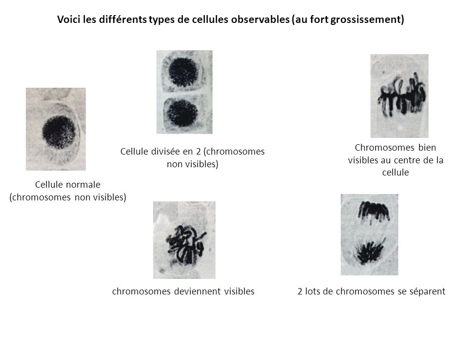 Voici les différents types de cellules observables (au fort grossissement)