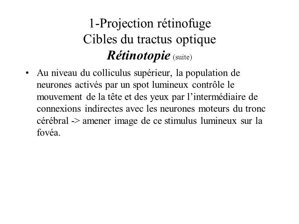 1-Projection rétinofuge Cibles du tractus optique Rétinotopie (suite)