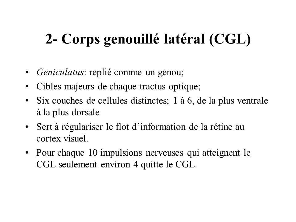 2- Corps genouillé latéral (CGL)