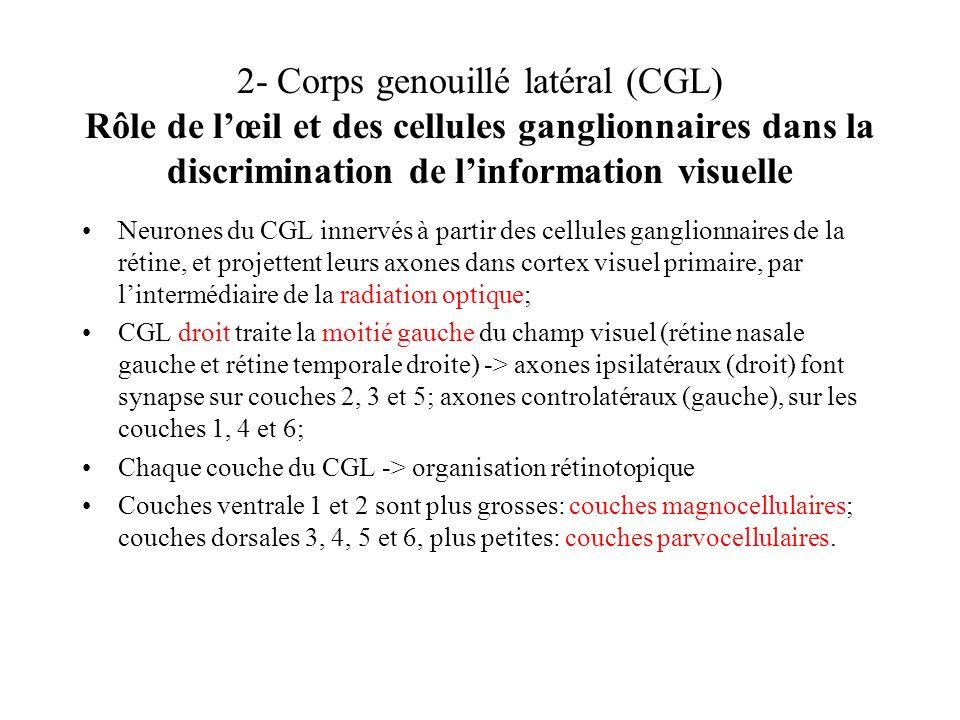2- Corps genouillé latéral (CGL) Rôle de l'œil et des cellules ganglionnaires dans la discrimination de l'information visuelle