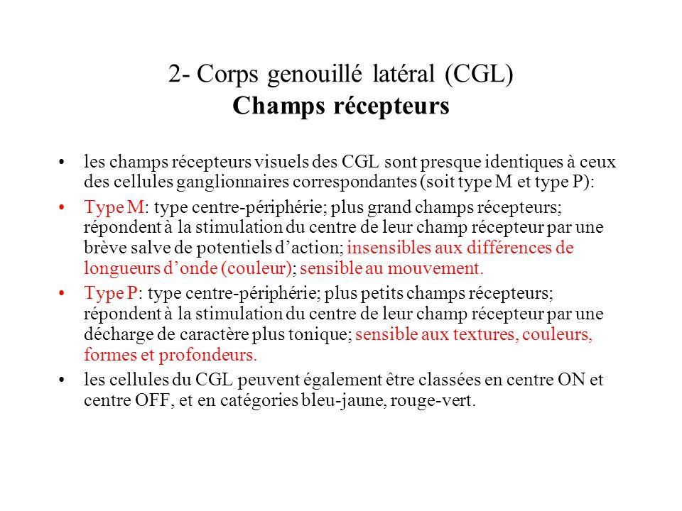 2- Corps genouillé latéral (CGL) Champs récepteurs