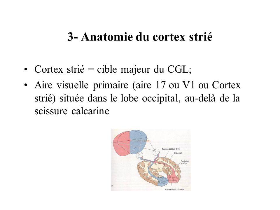 3- Anatomie du cortex strié