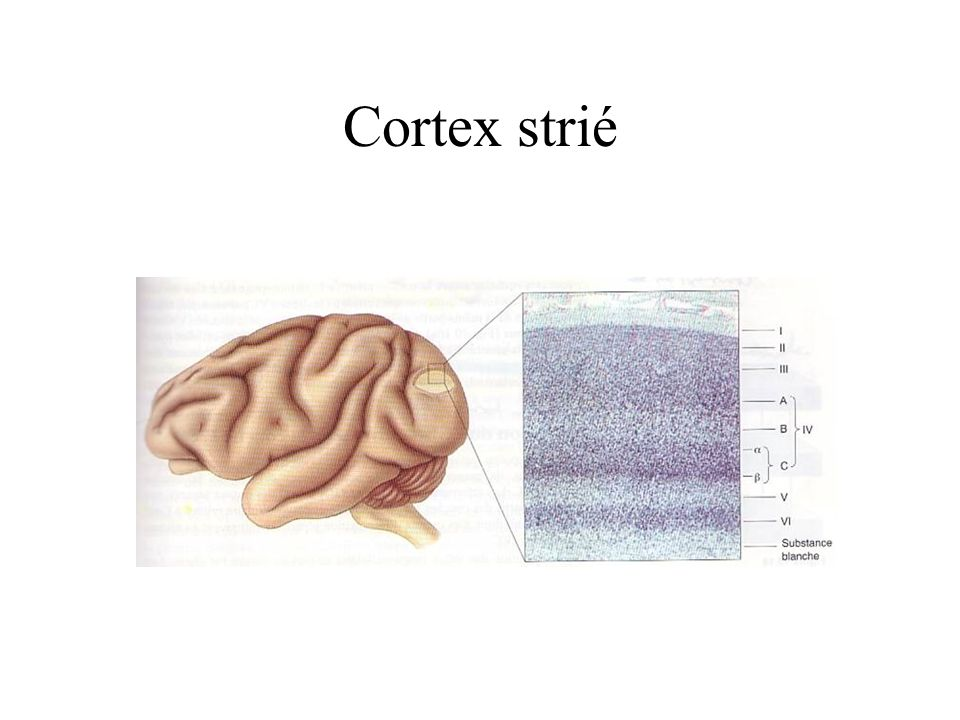 Cortex strié