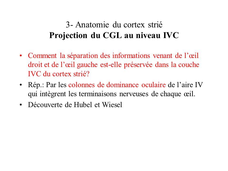 3- Anatomie du cortex strié Projection du CGL au niveau IVC