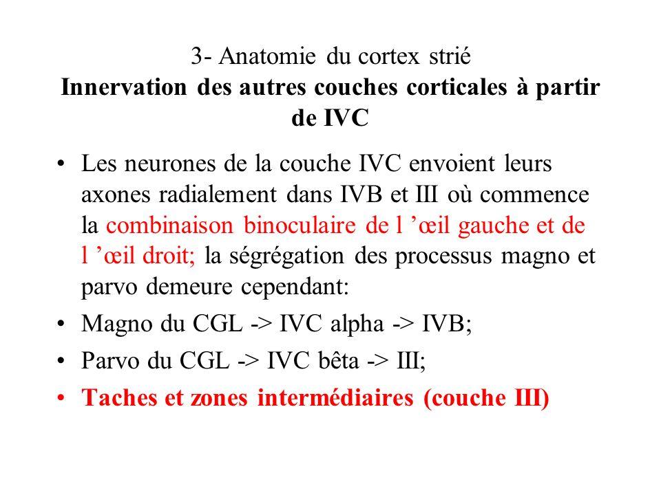 3- Anatomie du cortex strié Innervation des autres couches corticales à partir de IVC