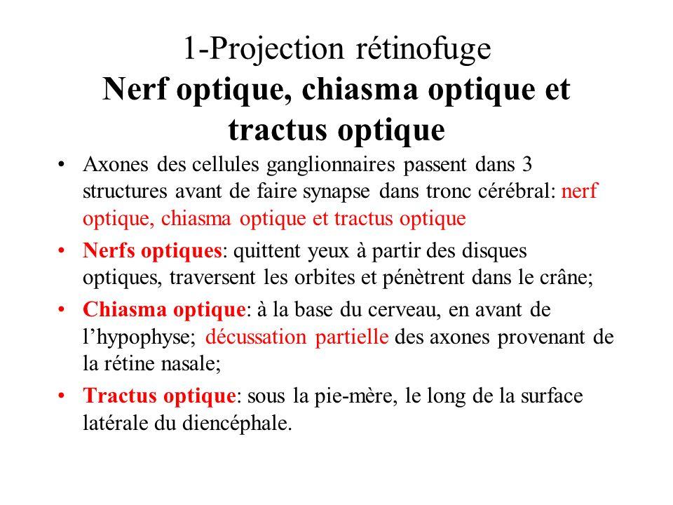 1-Projection rétinofuge Nerf optique, chiasma optique et tractus optique