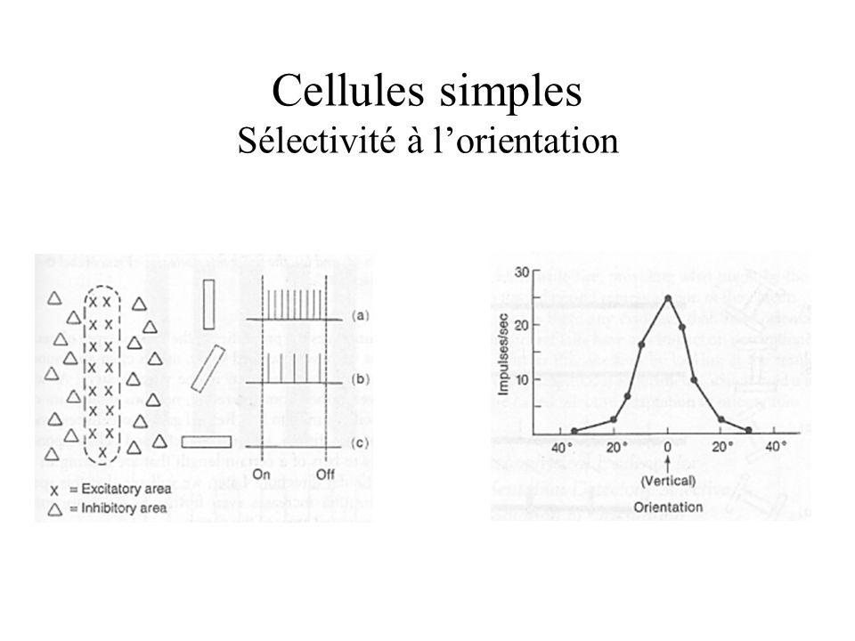 Cellules simples Sélectivité à l'orientation