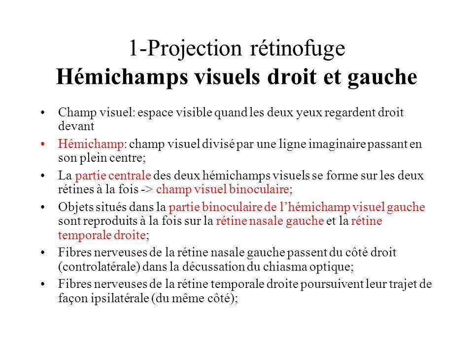 1-Projection rétinofuge Hémichamps visuels droit et gauche