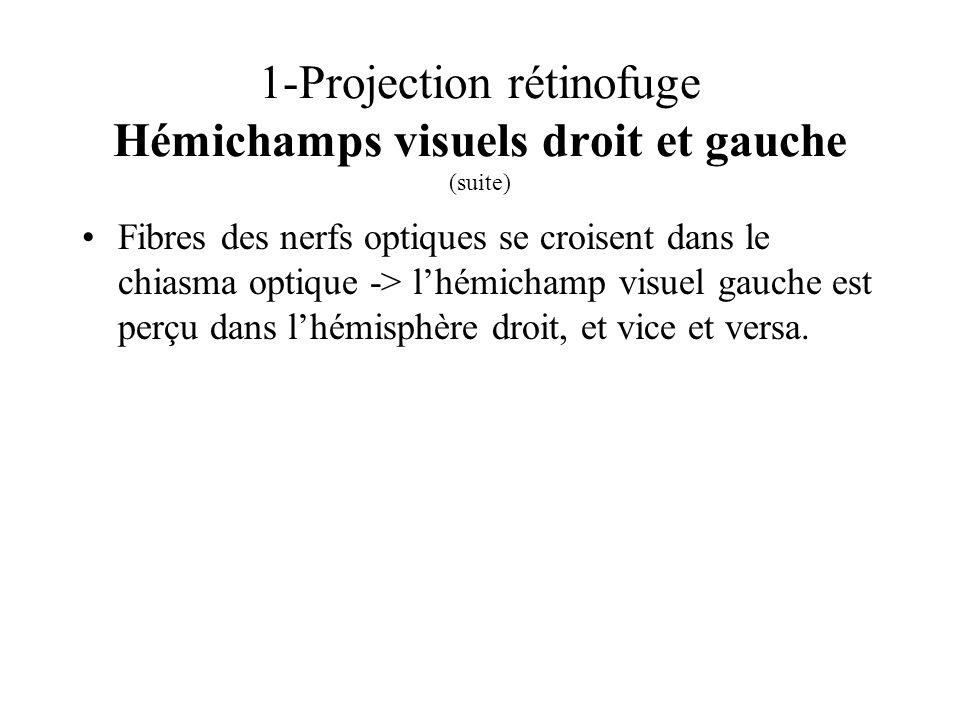 1-Projection rétinofuge Hémichamps visuels droit et gauche (suite)