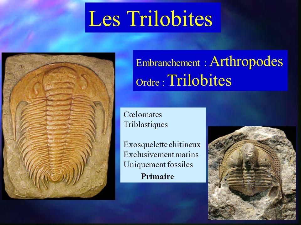 Les Trilobites Embranchement : Arthropodes Ordre : Trilobites