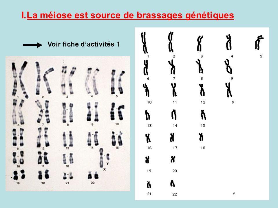 La méiose est source de brassages génétiques