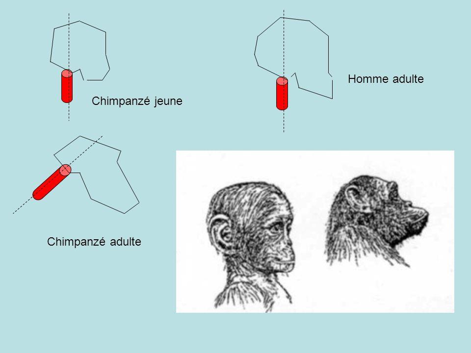 Homme adulte Chimpanzé jeune Chimpanzé adulte