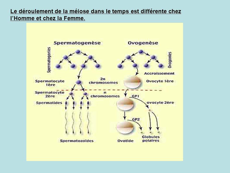 Le déroulement de la méiose dans le temps est différente chez l'Homme et chez la Femme.