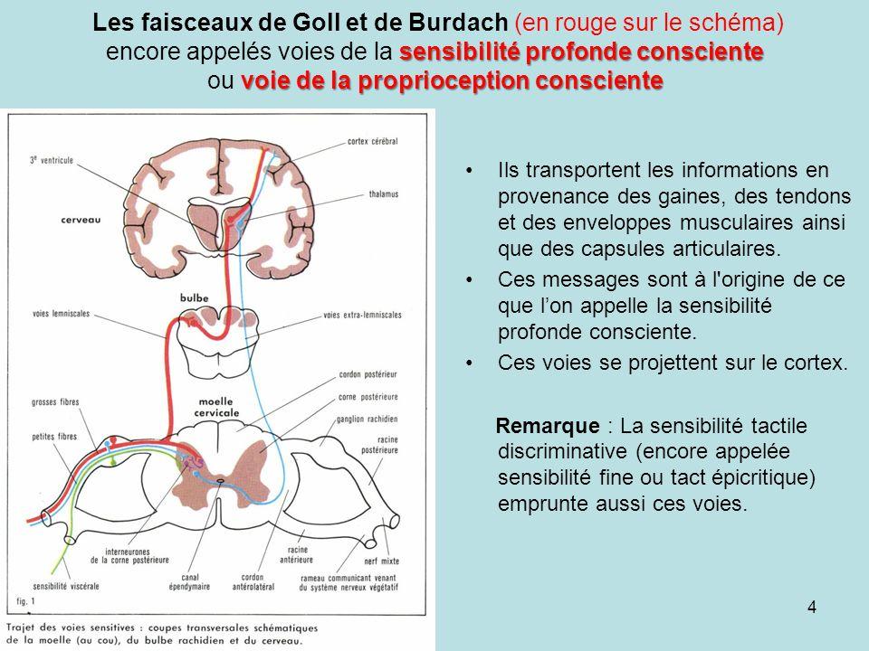 Les faisceaux de Goll et de Burdach (en rouge sur le schéma) encore appelés voies de la sensibilité profonde consciente ou voie de la proprioception consciente