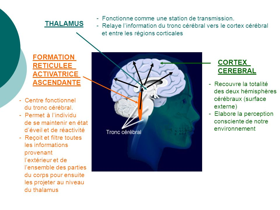 THALAMUS FORMATION RETICULEE CORTEX ACTIVATRICE CEREBRAL ASCENDANTE