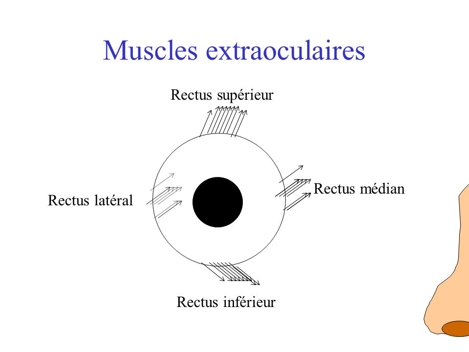 Muscles extraoculaires