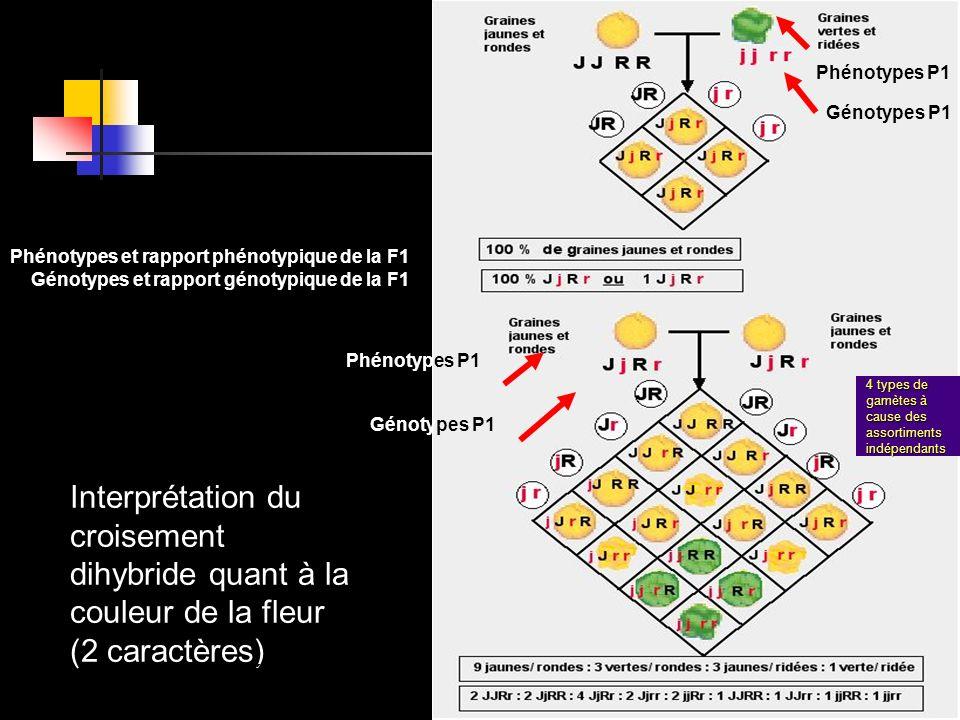 Phénotypes P1 Génotypes P1. Phénotypes et rapport phénotypique de la F1. Génotypes et rapport génotypique de la F1.