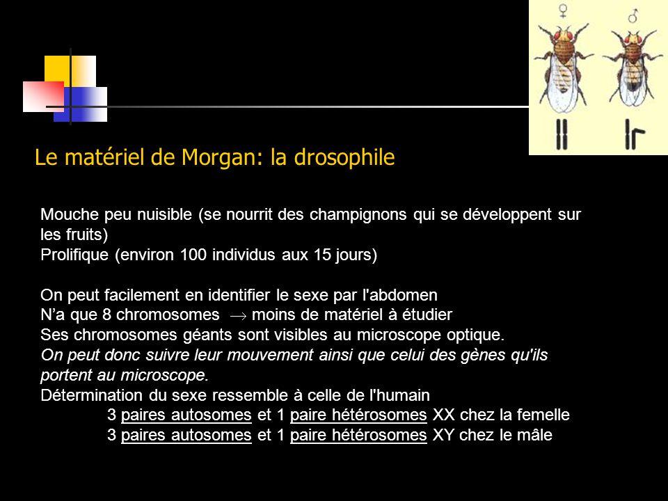 Le matériel de Morgan: la drosophile