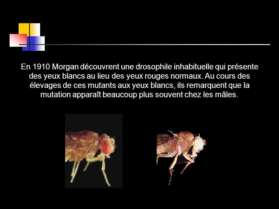 En 1910 Morgan découvrent une drosophile inhabituelle qui présente des yeux blancs au lieu des yeux rouges normaux.