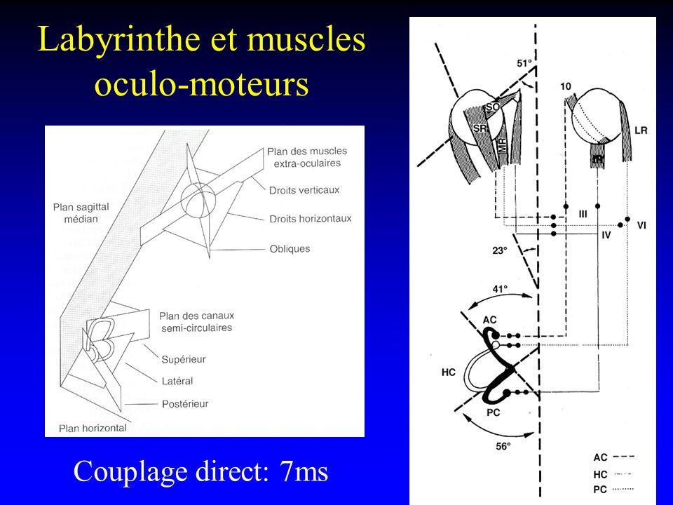 Labyrinthe et muscles oculo-moteurs
