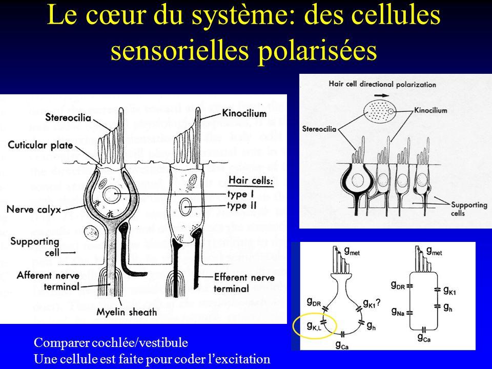 Le cœur du système: des cellules sensorielles polarisées
