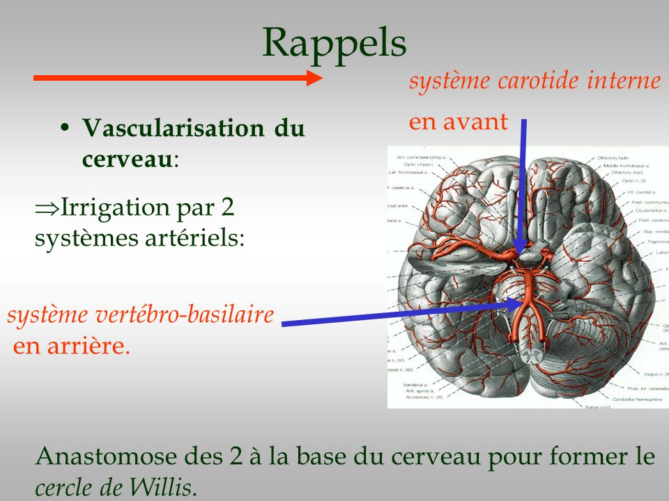 Rappels système carotide interne en avant Vascularisation du cerveau: