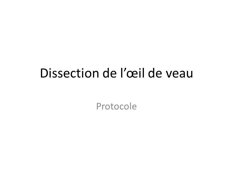 Dissection de l'œil de veau