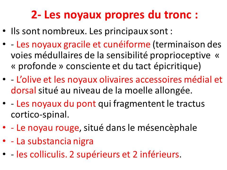2- Les noyaux propres du tronc :