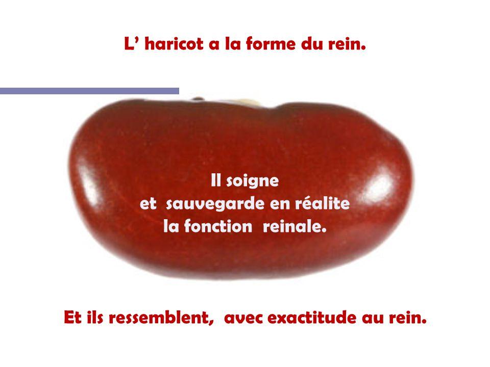 L' haricot a la forme du rein.
