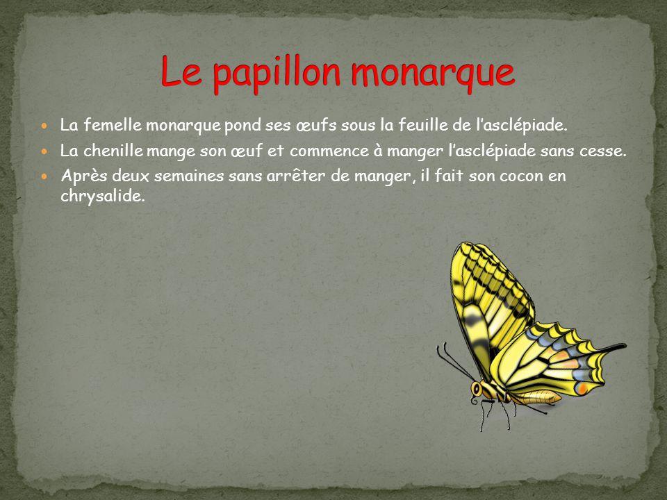 Le papillon monarque La femelle monarque pond ses œufs sous la feuille de l'asclépiade.