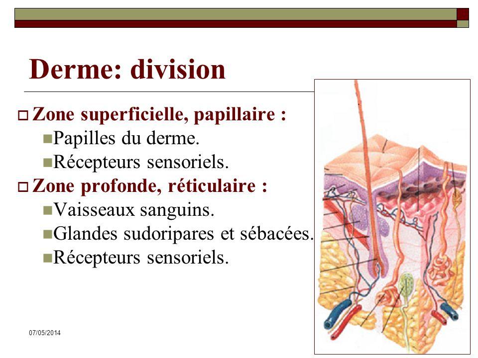 Derme: division Zone superficielle, papillaire : Papilles du derme.
