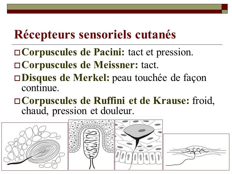Récepteurs sensoriels cutanés