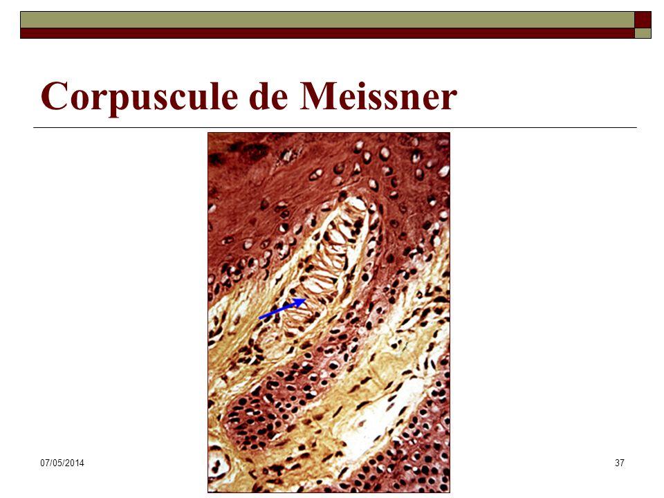Corpuscule de Meissner