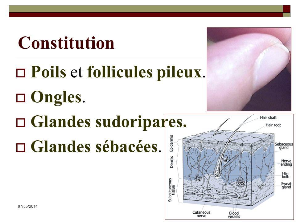 Constitution Poils et follicules pileux. Ongles. Glandes sudoripares.