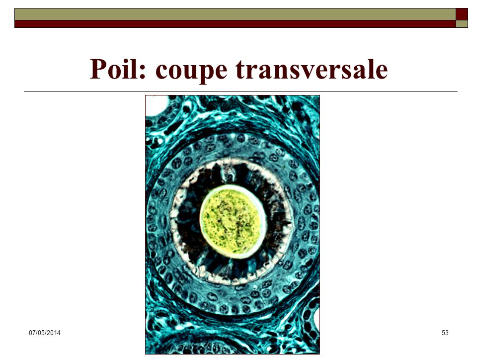 Poil: coupe transversale