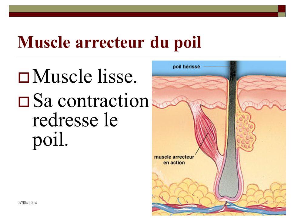 Muscle arrecteur du poil