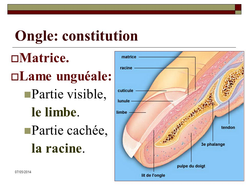 Ongle: constitution Matrice. Lame unguéale: Partie visible, le limbe.